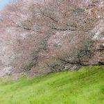 【2018年】淀川河川公園背割堤地区の桜の見頃とアクセスと駐車場情報
