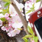 スマホで桜をきれいに撮影するコツとおすすめのアプリ