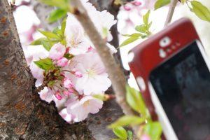 スマホで桜を撮影