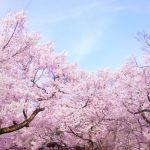 桜をきれいに撮影するコツと適した天気は?ピンクを鮮やかに写すには?