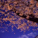夜桜をきれいに撮影するコツとは?フラッシュとホワイトバランスの設定は?