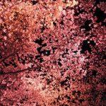 【2018年】高田公園の夜桜のライトアップの実施時間とおすすめの駐車場と服装