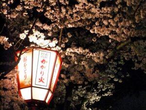 円山公園の桜のライトアップ